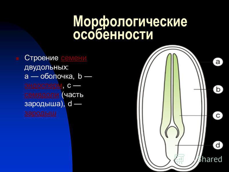 Морфологические особенности Строение семени двудольных: a оболочка, b эндосперм, c семядоли (часть зародыша), d зародыш семени эндосперм семядоли зародыш