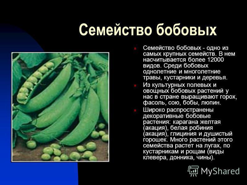 Семейство бобовых Семейство бобовых - одно из самых крупных семейств. В нем насчитывается более 12000 видов. Среди бобовых однолетние и многолетние травы, кустарники и деревья. Из культурных полевых и овощных бобовых растений у нас в стране выращиваю