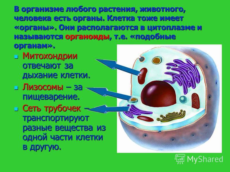 В организме любого растения, животного, человека есть органы. Клетка тоже имеет «органы». Они располагаются в цитоплазме и называются органоиды, т.е. «подобные органам». Митохондрии отвечают за дыхание клетки. Митохондрии отвечают за дыхание клетки.