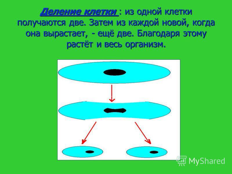 Деление клетки : из одной клетки получаются две. Затем из каждой новой, когда она вырастает, - ещё две. Благодаря этому растёт и весь организм.