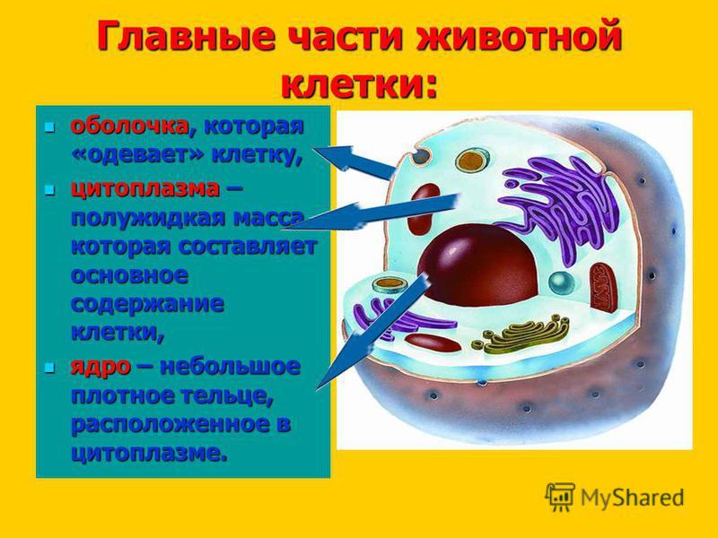 Главные части животной клетки: оболочка, которая «одевает» клетку, оболочка, которая «одевает» клетку, цитоплазма – полужидкая масса, которая составляет основное содержание клетки, цитоплазма – полужидкая масса, которая составляет основное содержание