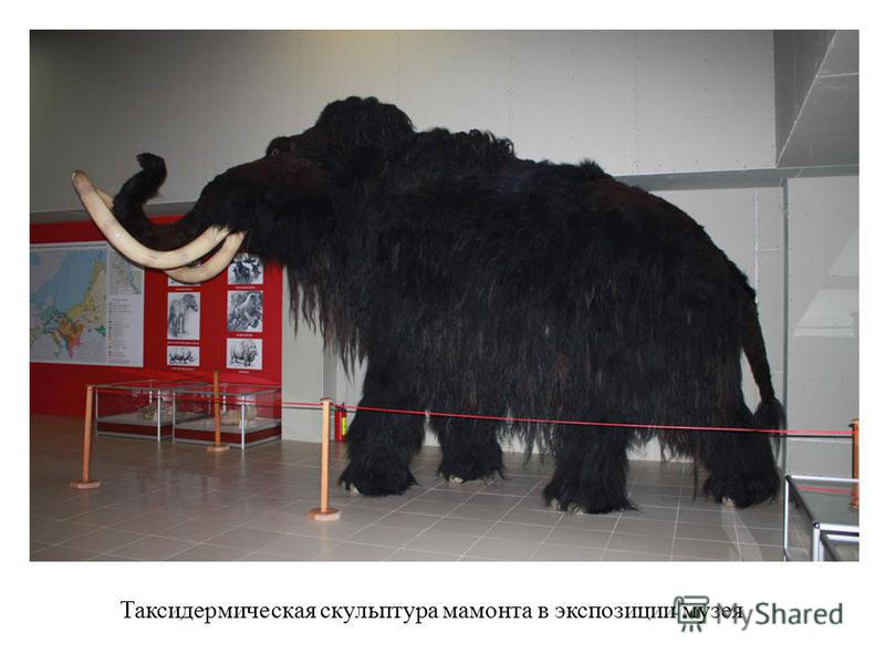 Таксидермическая скульптура мамонта в экспозиции музея