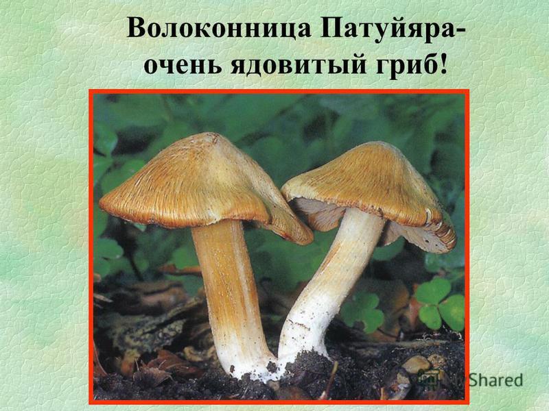Волоконница Патуйяра- очень ядовитый гриб!
