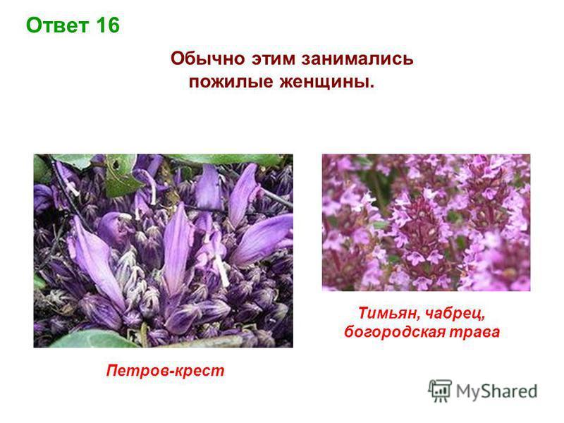 Ответ 16 Обычно этим занимались пожилые женщины. Петров-крест Тимьян, чабрец, богородска я трава