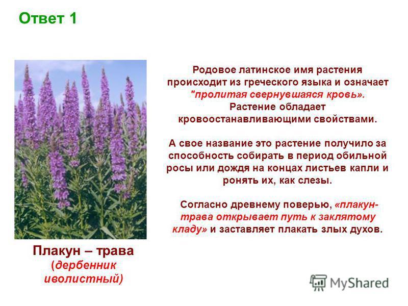 Плакун – трава (дербенник иволистный) Ответ 1 Родовое латинское имя растения происходит из греческого языка и означает
