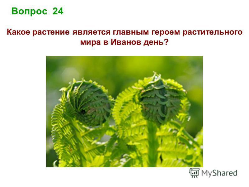Вопрос 24 Какое растение является главным героем растительного мира в Иванов день?