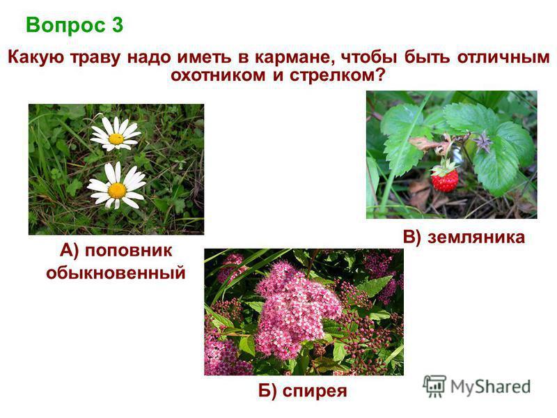 Вопрос 3 Какую траву надо иметь в кармане, чтобы быть отличным охотником и стрелком? Б) спирея В) земляника А) поповник обыкновенный