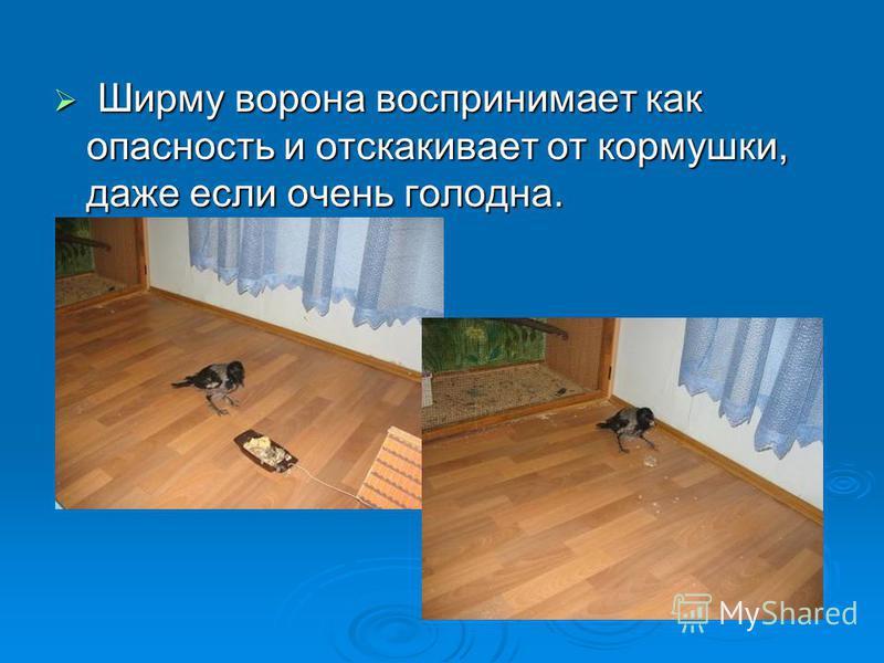Ширму ворона воспринимает как опасность и отскакивает от кормушки, даже если очень голодна. Ширму ворона воспринимает как опасность и отскакивает от кормушки, даже если очень голодна.