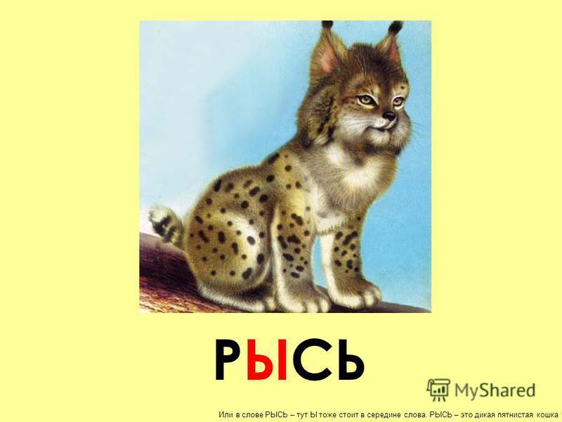РЫСЬ Или в слове РЫСЬ – тут Ы тоже стоит в середине слова. РЫСЬ – это дикая пятнистая кошка