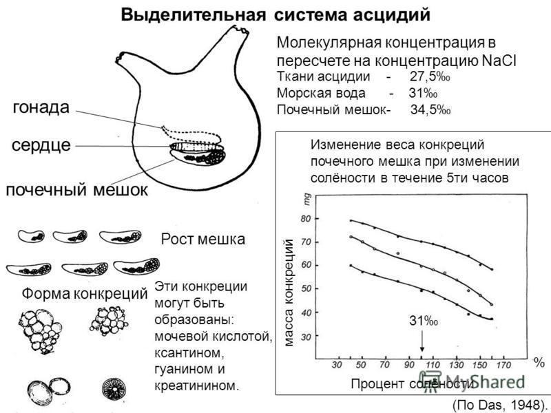 Выделительная система асцидий гонада сердце почечный мешок Рост мешка Форма конкреций Эти конкреции могут быть образованы: мочевой кислотой, ксантинам, гуанином и креатинином. Процент солёности % масса конкреций Изменение веса конкреций почечного меш
