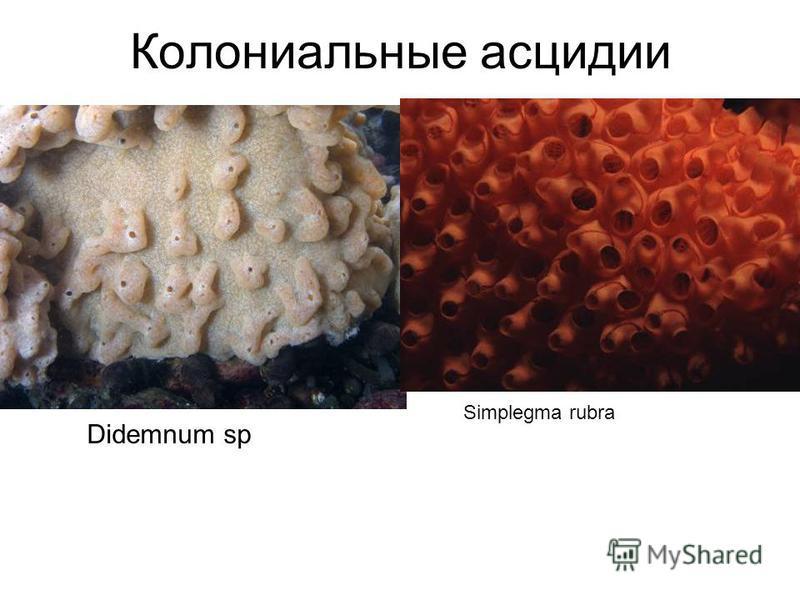 Didemnum sp Simplegma rubra Колониальные асцидии