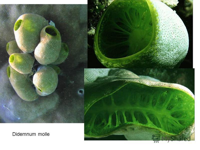 Didemnum molle