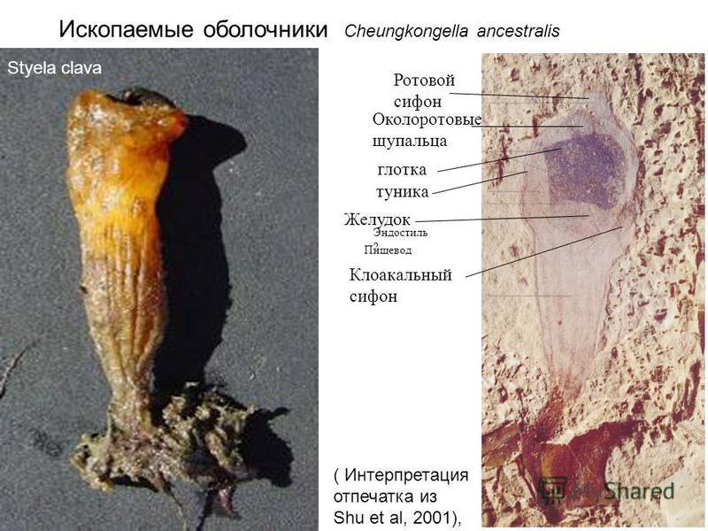 Ископаемые оболочники Cheungkongella ancestralis глотка Околоротовые щупальца Ротовой сифон туника Эндостиль ? Пищевод Желудок Клоакальный сифон Styela clava ( Интерпретация отпечатка из Shu et al, 2001),