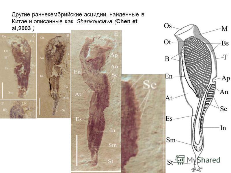 Другие раннекембрийские асцидии, найденные в Китае и описанные как Shankouclava (Chen et al,2003 )