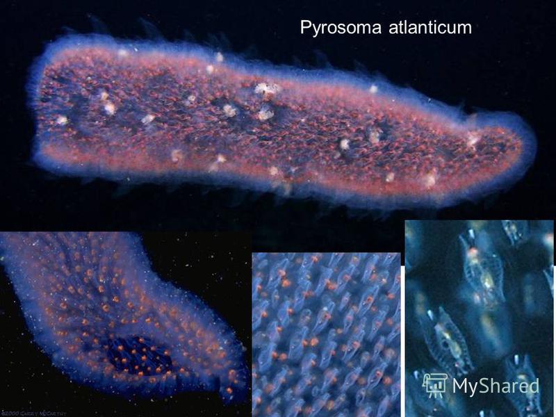 Pyrosoma atlanticum