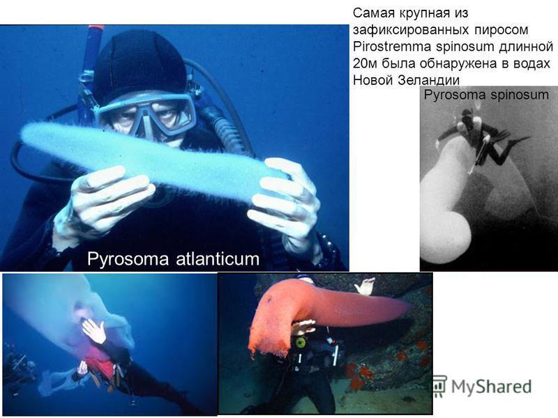 Pyrosoma atlanticum Самая крупная из зафиксированных пиросом Pirostremma spinosum длинной 20 м была обнаружена в водах Новой Зеландии Pyrosoma spinosum