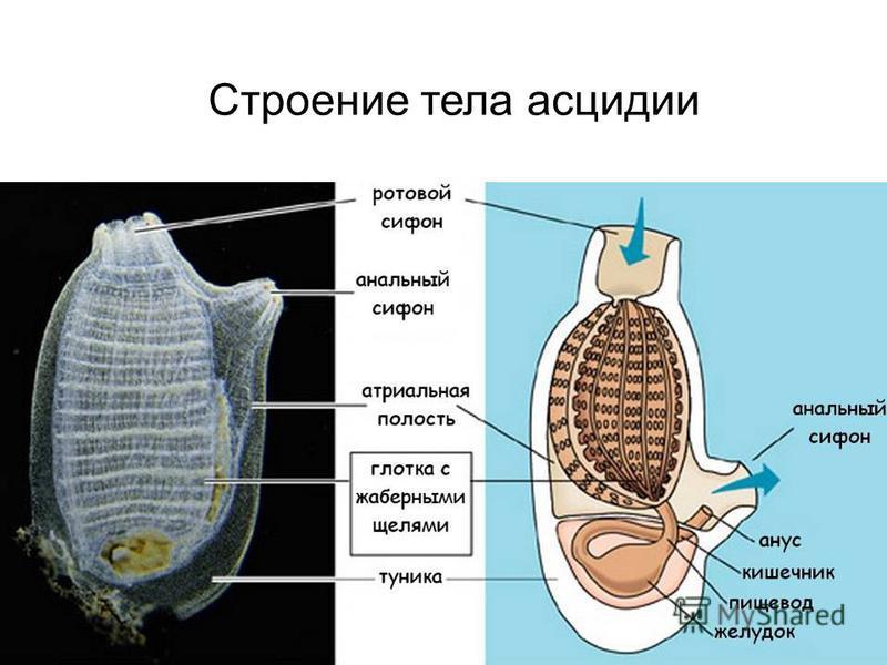 Строение тела асцидии
