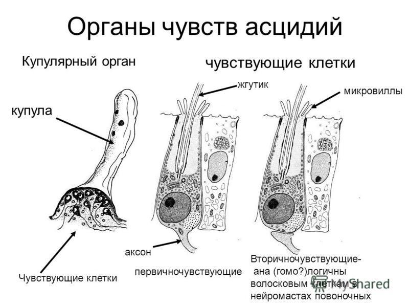 Органы чувств асцидий чувствующие клетки Купулярный орган Чувствующие клетки Вторичночувствующие- анна (гомо?)логичны волосковым клеткам в нейромастах позвоночных купула первичночувствующие аксон микро виллы жгутик