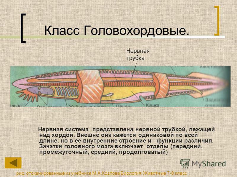 Класс Головохордовые. Нервная система представлена нервной трубкой, лежащей над хордой. Внешне она кажется одинаковой по всей длине, но в ее внутренние строение и функции различия. Зачатки головного мозга включает отделы (передний, промежуточный, сре