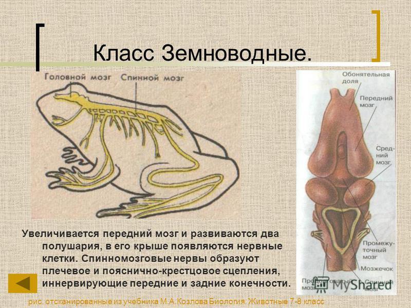 Класс Земноводные. Увеличивается передний мозг и развиваются два полушария, в его крыше появляются нервные клетки. Спинномозговые нервы образуют плечевое и пояснично-крестцовое сцепления, иннервирующие передние и задние конечности. рис. отсканированн