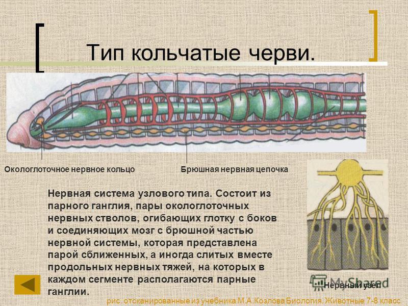 Тип кольчатые черви. Нервная система узлового типа. Состоит из парного ганглия, пары окологлоточных нервных стволов, огибающих глотку с боков и соединяющих мозг с брюшной частью нервной системы, которая представлена парой сближенных, а иногда слитых