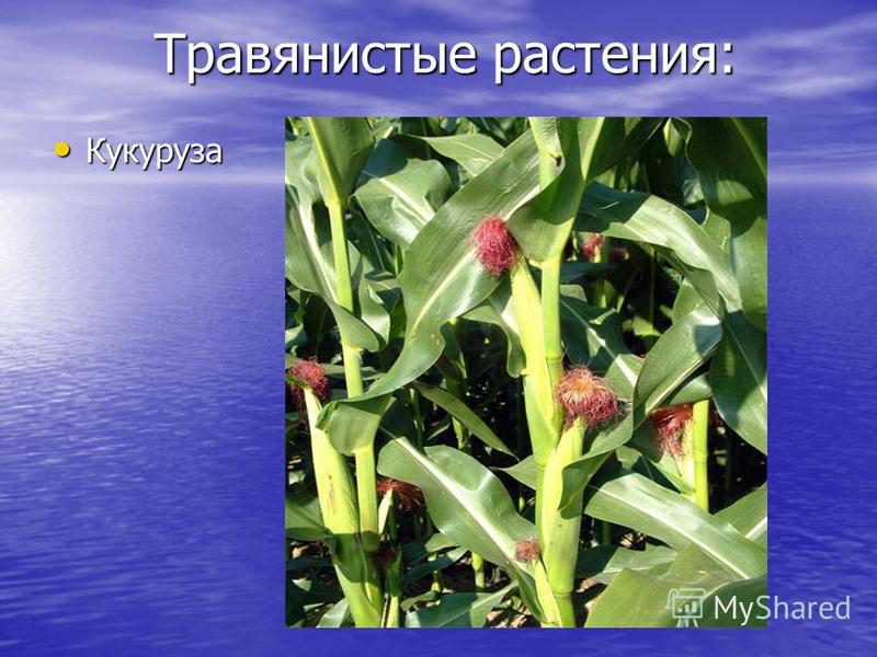 Травянистые растения: Кукуруза Кукуруза