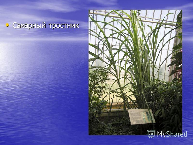 Сахарный тростник Сахарный тростник