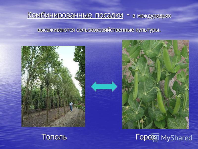 Комбинированные посадки - в междурядьях высаживаются сельскохозяйственные культуры. Горох Тополь