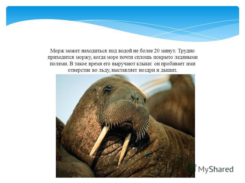 Морж может находиться под водой не более 20 минут. Трудно приходится моржу, когда море почти сплошь покрыто ледяными полями. В такое время его выручают клыки: он пробивает ими отверстие во льду, выставляет ноздри и дышит.