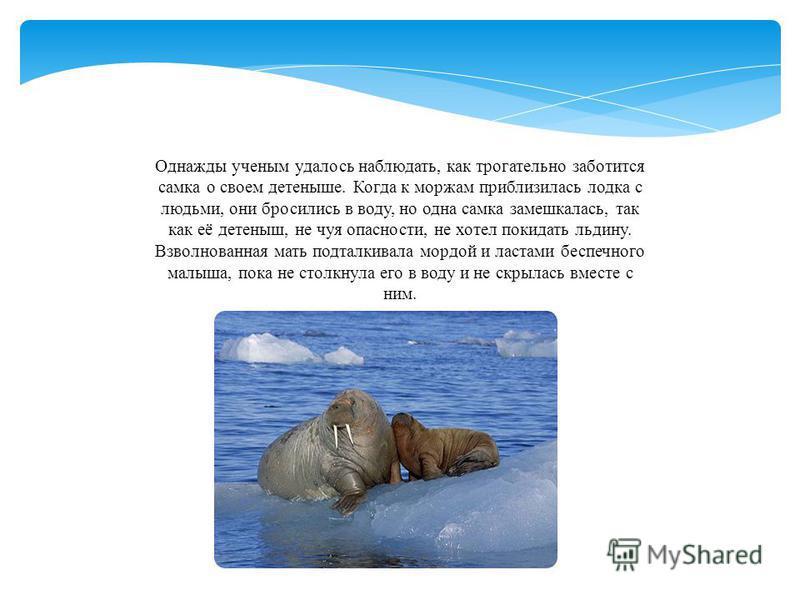 Однажды ученым удалось наблюдать, как трогательно заботится самка о своем детеныше. Когда к моржам приблизилась лодка с людьми, они бросились в воду, но одна самка замешкалась, так как её детеныш, не чуя опасности, не хотел покидать льдину. Взволнова