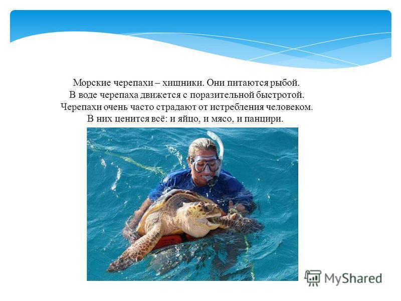 Морские черепахи – хищники. Они питаются рыбой. В воде черепаха движется с поразительной быстротой. Черепахи очень часто страдают от истребления человеком. В них ценится всё: и яйцо, и мясо, и панцири.
