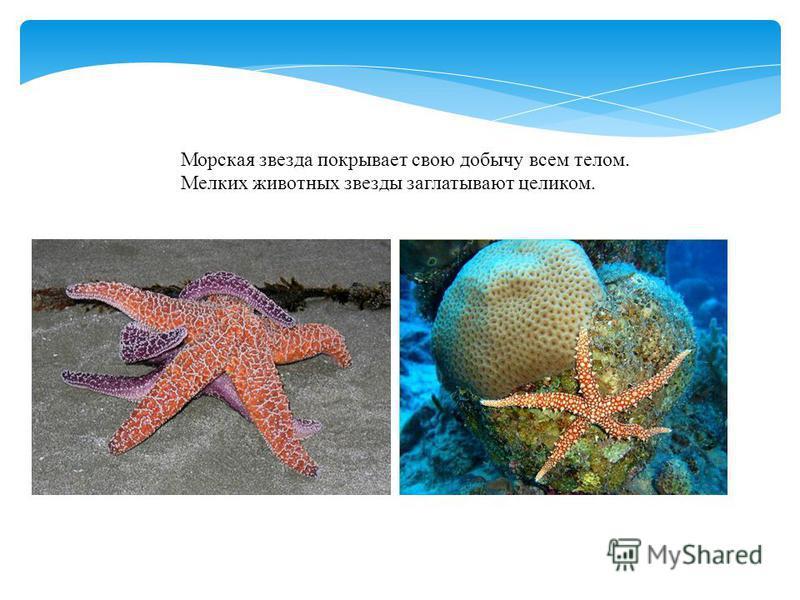 Морская звезда покрывает свою добычу всем телом. Мелких животных звезды заглатывают целиком.