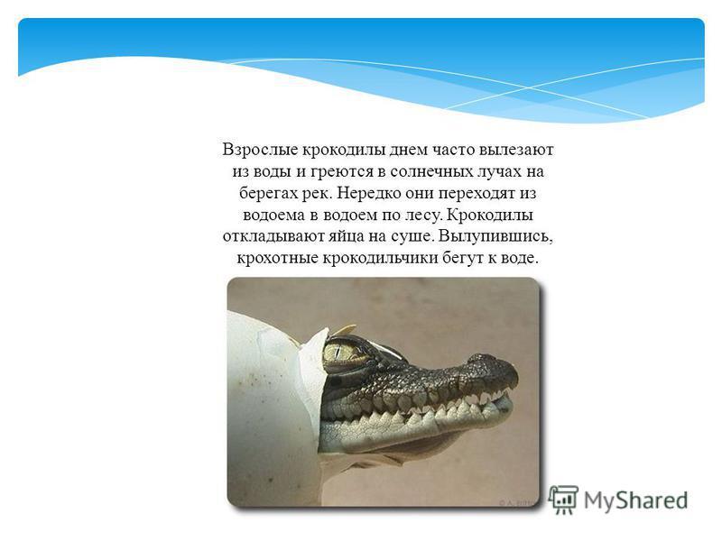 Взрослые крокодилы днем часто вылезают из воды и греются в солнечных лучах на берегах рек. Нередко они переходят из водоема в водоем по лесу. Крокодилы откладывают яйца на суше. Вылупившись, крохотные крокодильчики бегут к воде.