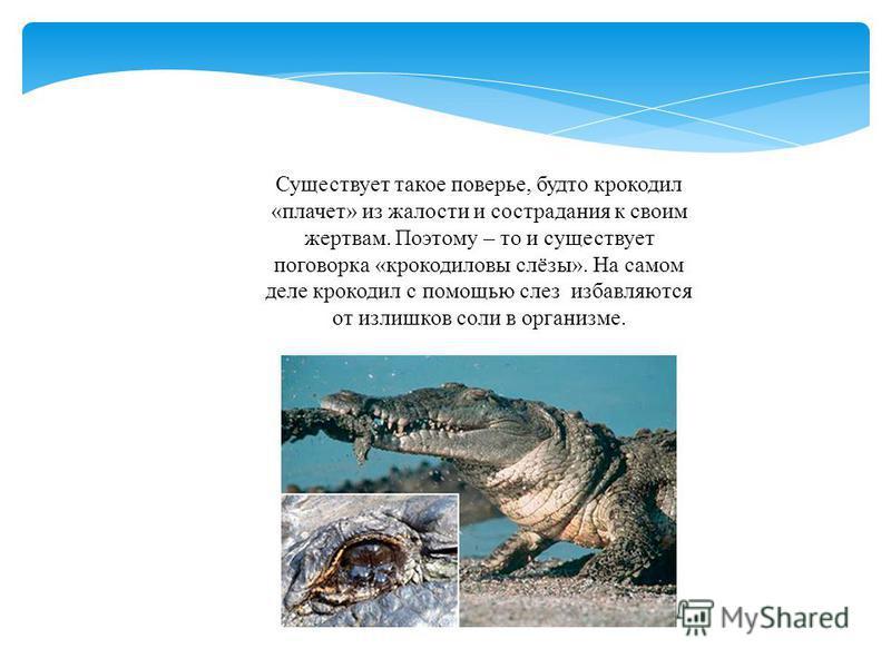 Существует такое поверье, будто крокодил «плачет» из жалости и сострадания к своим жертвам. Поэтому – то и существует поговорка «крокодиловы слёзы». На самом деле крокодил с помощью слез избавляются от излишков соли в организме.