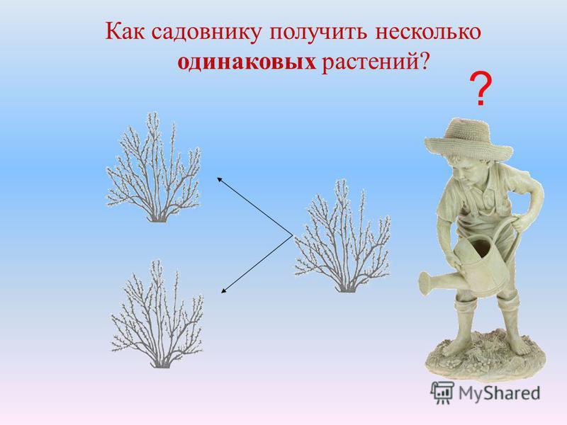 Как садовнику получить несколько одинаковых растений? ?