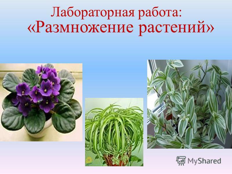 Лабораторная работа: «Размножение растений»