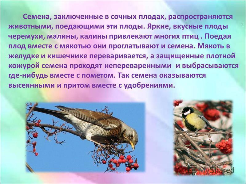 . Семена, заключенные в сочных плодах, распространяются животными, поедающими эти плоды. Яркие, вкусные плоды черемухи, малины, калины привлекают многих птиц. Поедая плод вместе с мякотью они проглатывают и семена. Мякоть в желудке и кишечнике перева