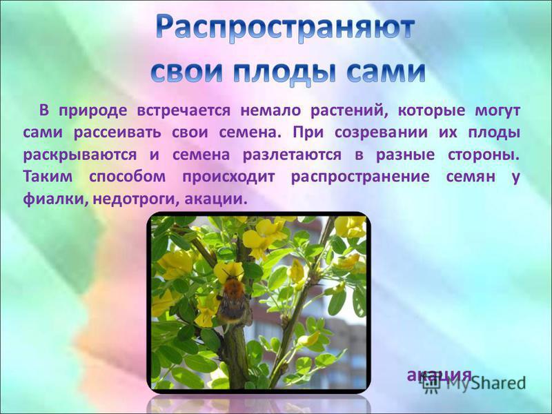 В природе встречается немало растений, которые могут сами рассеивать свои семена. При созревании их плоды раскрываются и семена разлетаются в разные стороны. Таким способом происходит распространение семян у фиалки, недотроги, акации. акация