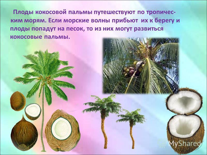Плоды кокосовой пальмы путешествуют по тропическим морям. Если морские волны прибьют их к берегу и плоды попадут на песок, то из них могут развиться кокосовые пальмы.