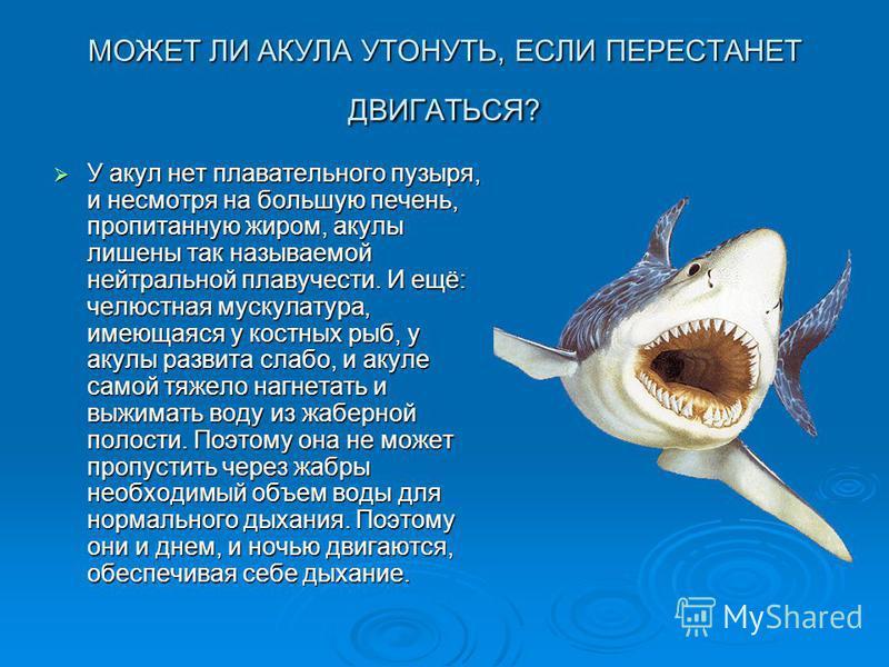 МОЖЕТ ЛИ АКУЛА УТОНУТЬ, ЕСЛИ ПЕРЕСТАНЕТ ДВИГАТЬСЯ? У акул нет плавательного пузыря, и несмотря на большую печень, пропитанную жиром, акулы лишены так называемой нейтральной плавучести. И ещё: челюстная мускулатура, имеющаяся у костных рыб, у акулы ра
