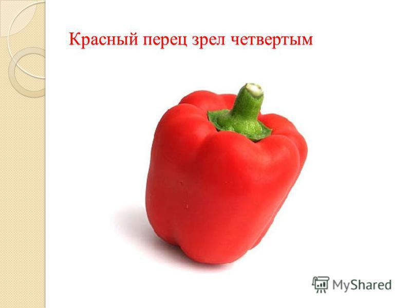 Красный перец зрел четвертым
