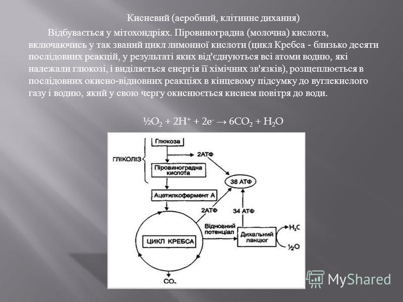 Кисневий ( аеробний, клітинне дихання ) Відбувається у мітохондріях. Піровиноградна ( молочна ) кислота, включаючись у так званий цикл лимонної кислоти ( цикл Кребса - близько десяти послідовних реакцій, у результаті яких від ' єднуються всі атоми во