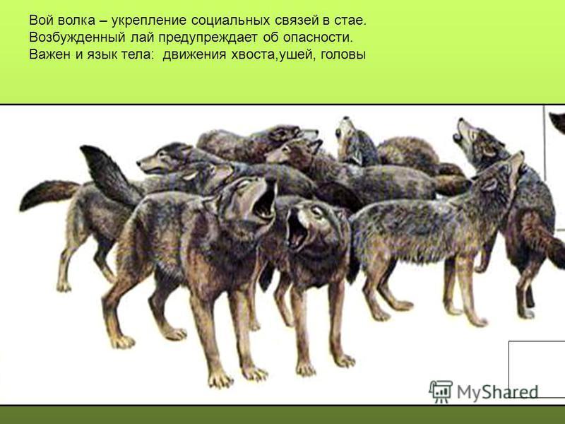 Вой волка – укрепление социальных связей в стае. Возбужденный лай предупреждает об опасности. Важен и язык тела: движения хвоста,ушей, головы