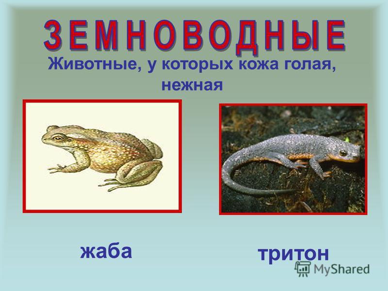 Животные, у которых кожа голая, нежная жаба тритон