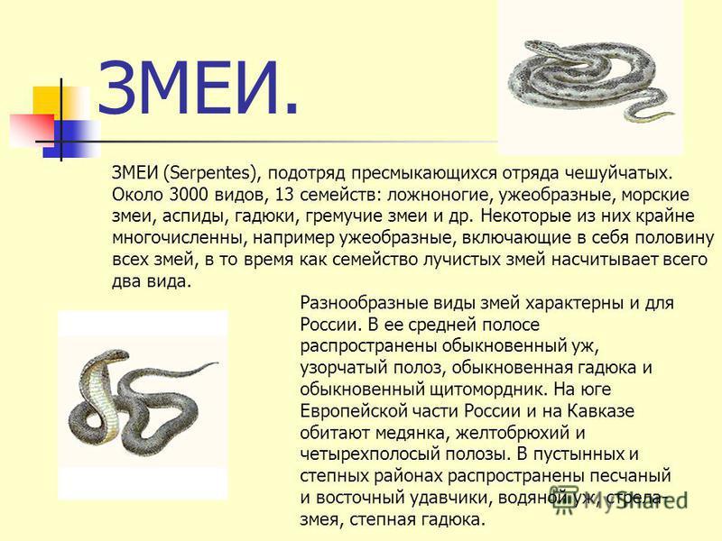 ЗМЕИ. ЗМЕИ (Serpentes), подотряд пресмыкающихся отряда чешуйчатых. Около 3000 видов, 13 семейств: ложноногие, ужеобразные, морские змеи, аспиды, гадюки, гремучие змеи и др. Некоторые из них крайне многочисленны, например ужеобразные, включающие в себ