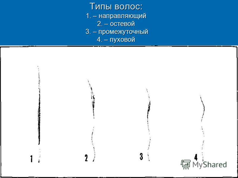 Типы волос: 1. – направляющий 2. – остевой 3. – промежуточный 4. – пуховой Волосы кролика: 1. – направляющий (средняя длина 40 мм, толщина 120 микрон) 2. – остевой (средняя длинна 36 мм, толщина 116 микрон) 3. – промежуточный (средняя длина 30 мм, то