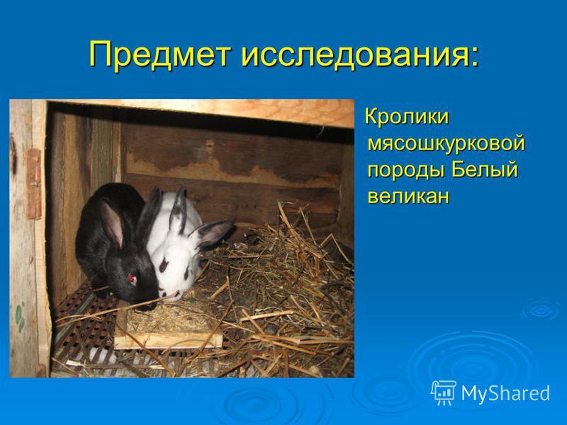 Предмет исследования: Кролики мясошкурковой породы Белый великан Кролики мясошкурковой породы Белый великан