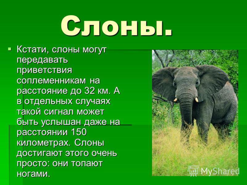 Слоны. Кстати, слоны могут передавать приветствия соплеменникам на расстояние до 32 км. А в отдельных случаях такой сигнал может быть услышан даже на расстоянии 150 километрах. Слоны достигают этого очень просто: они топают ногами. Кстати, слоны могу
