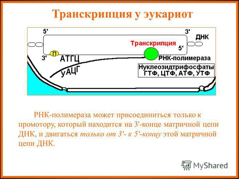 Транскрипция у эукариот РНК-полимераза может присоединиться только к промотору, который находится на 3'-конце матричной цепи ДНК, и двигаться только от 3'- к 5'-концу этой матричной цепи ДНК. РНК-полимераза может присоединиться только к промотору, ко