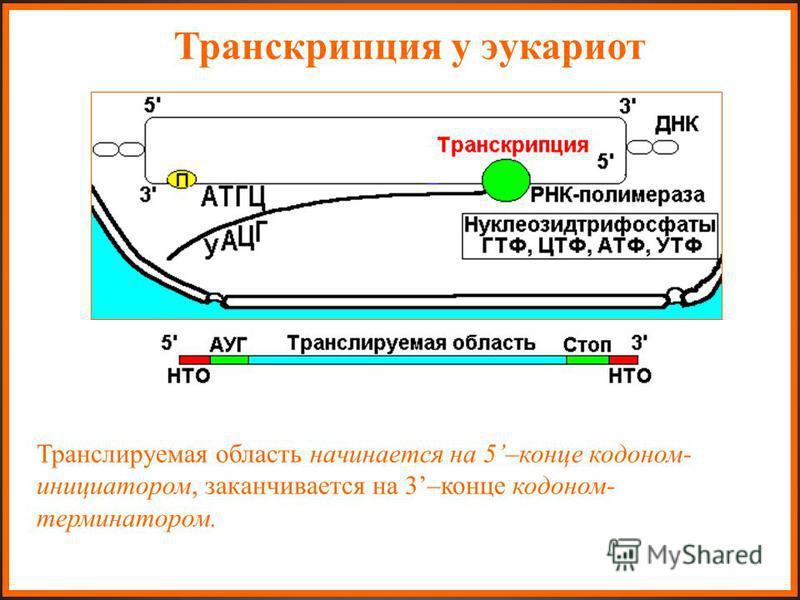 Транскрипция у эукариот Транслируемая область начинается на 5–конце кодоном- инициатором, заканчивается на 3–конце кодоном- терминатором.